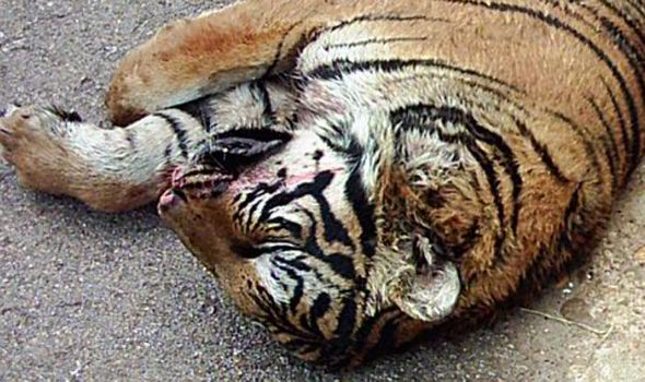The Horrific Cruelty Of China39s Tiger Farms Revealed